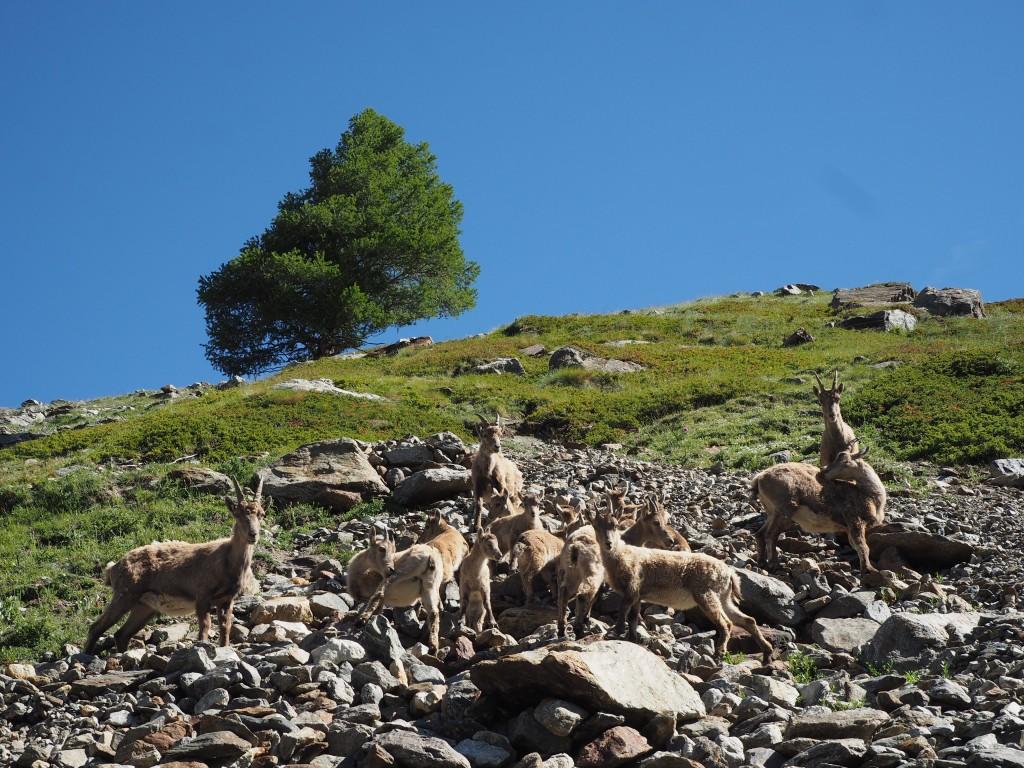 Ibex in Val Veni - just before the glacier
